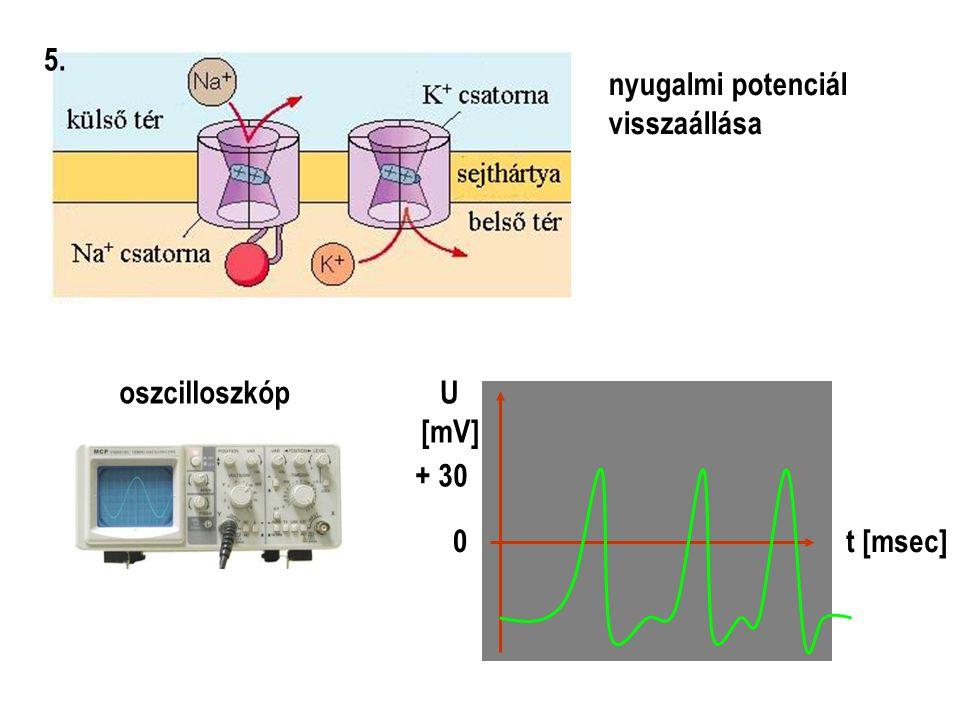 5. nyugalmi potenciál visszaállása oszcilloszkóp + 30 U [mV] t [msec]